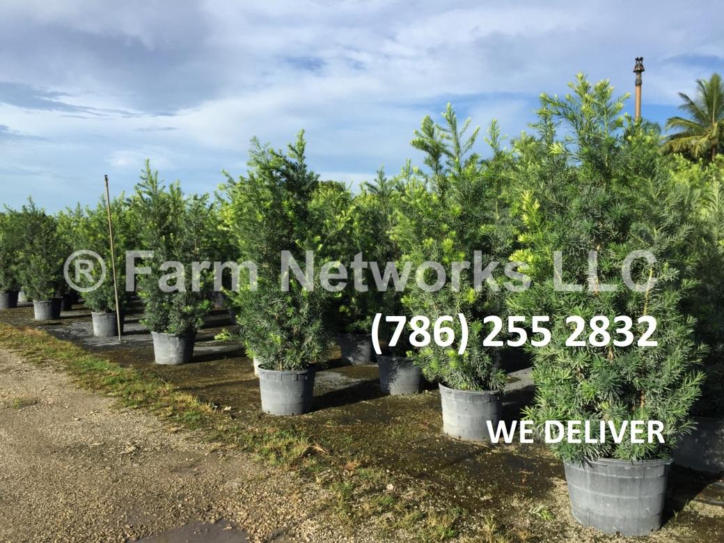 15 Gallon Podocarpus Hedge
