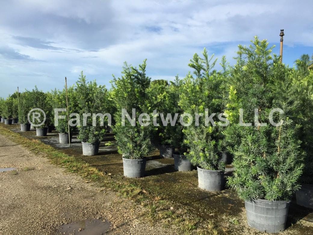 25 Gallon Podocarpus Hedge