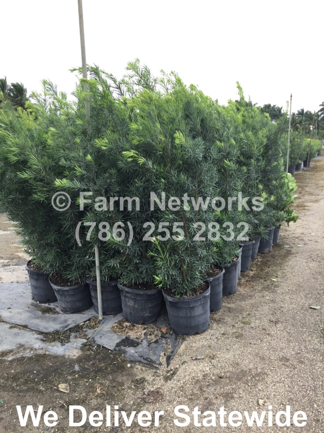 3 Gallon South Florida Podocarpus
