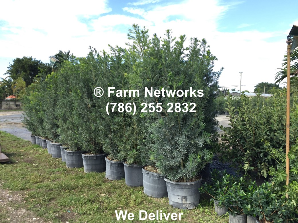 45 Gallon South Florida Podocarpus