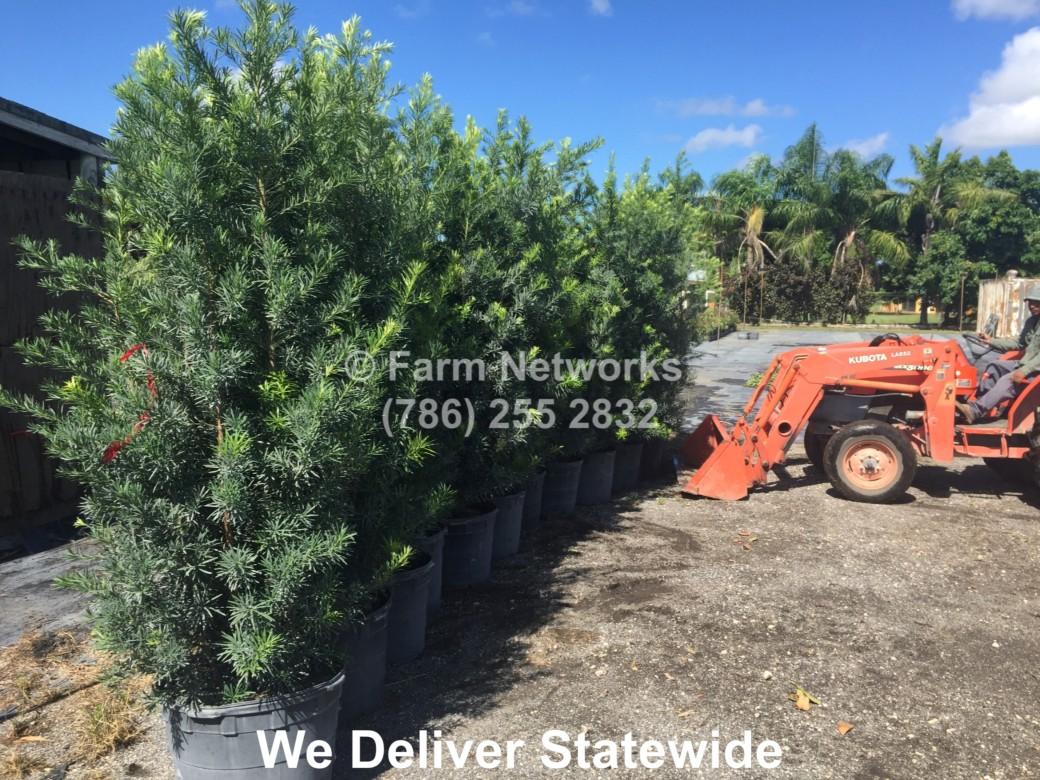 7 Gallon South Florida Podocarpus