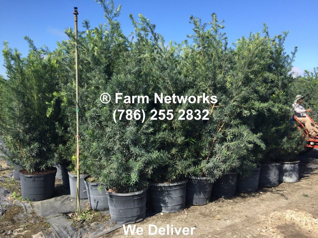 Broward Florida Podocarpus