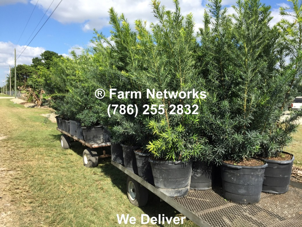 Homestead Florida Podocarpus