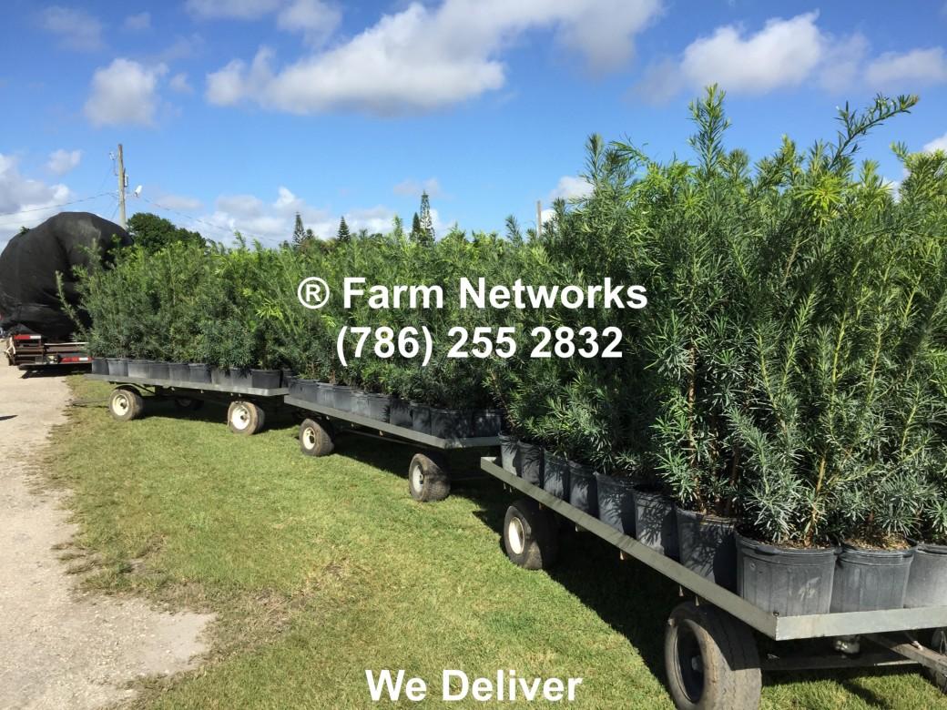 Palm Beach Florida Podocarpus