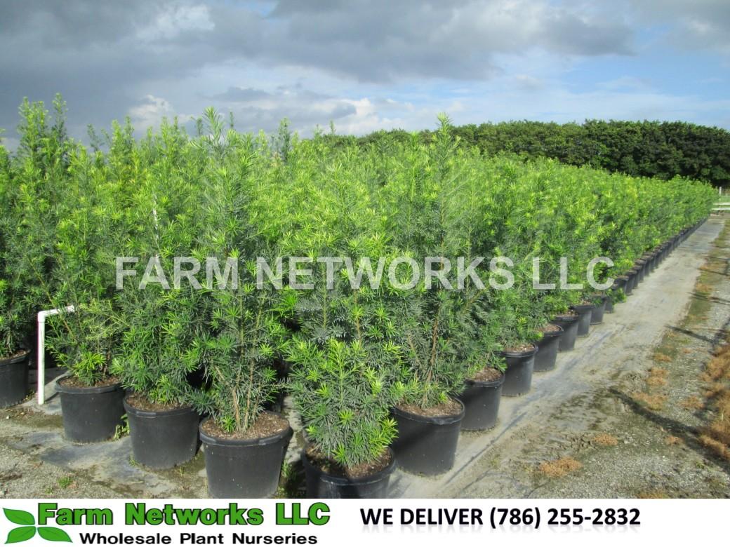 Podocarpus Hedge Boca Raton
