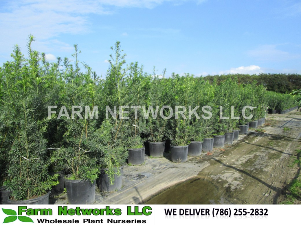 Podocarpus Hedge Broward