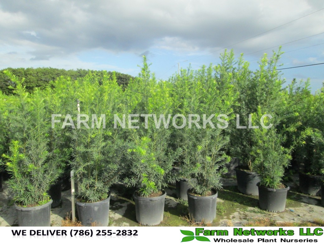 Podocarpus Hedge Coral Springs