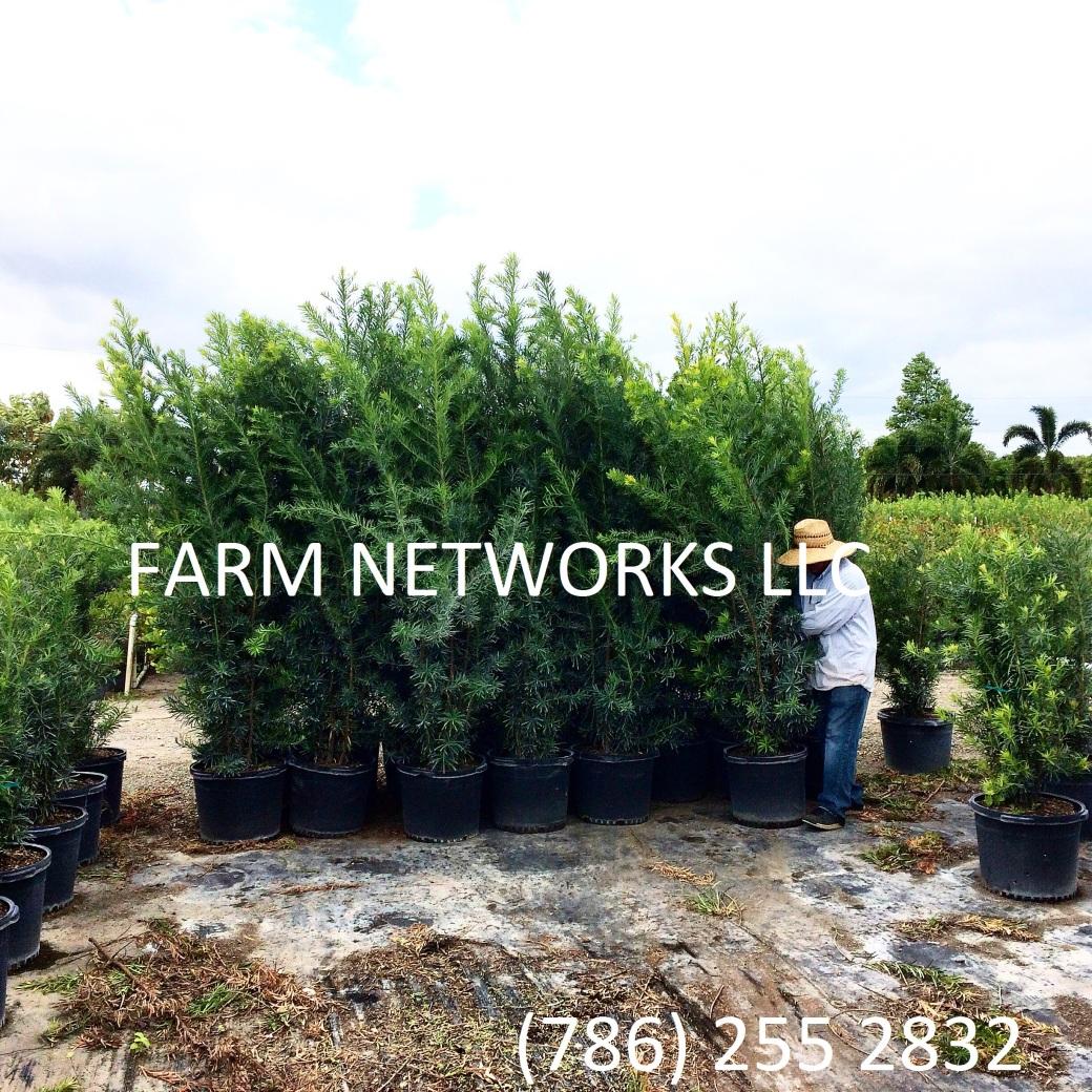 Podocarpus Hedge Fort Lauderdale, FL
