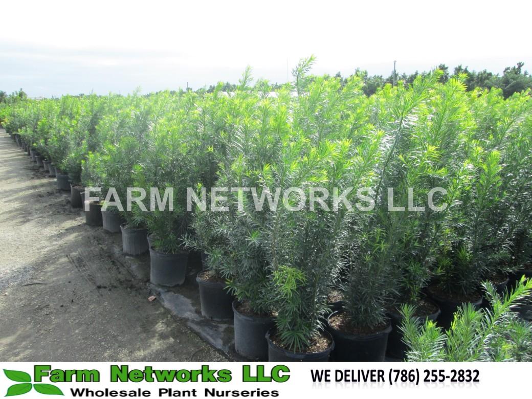 Podocarpus Hedge Hallandale, FL