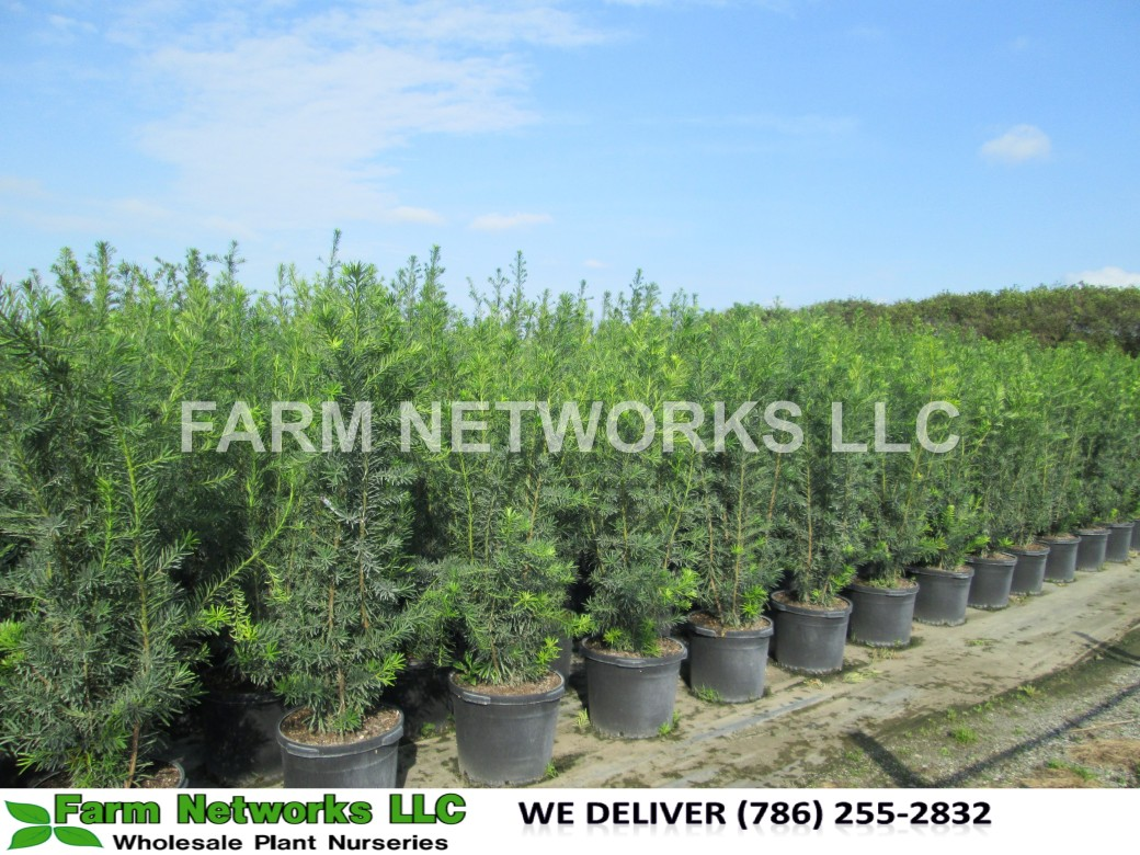 Podocarpus Hedge Palm Beach