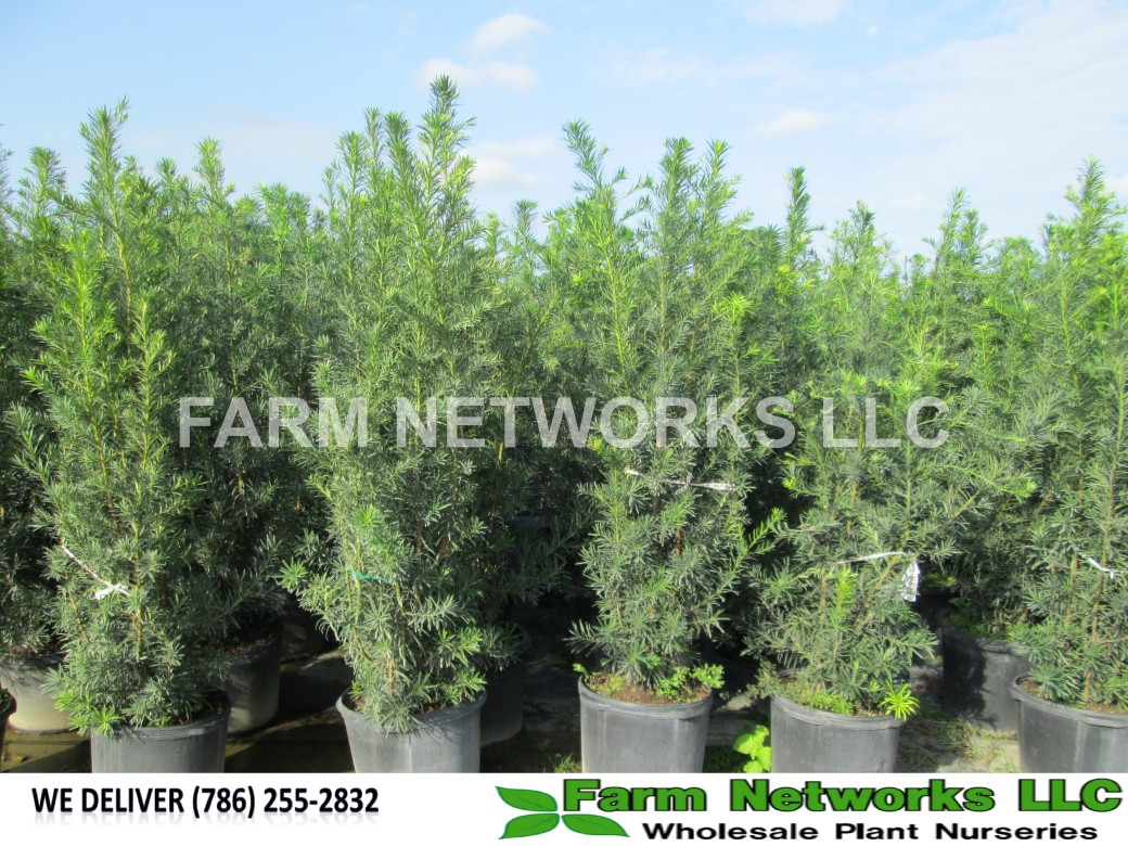 Podocarpus Hedge Parkland, FL