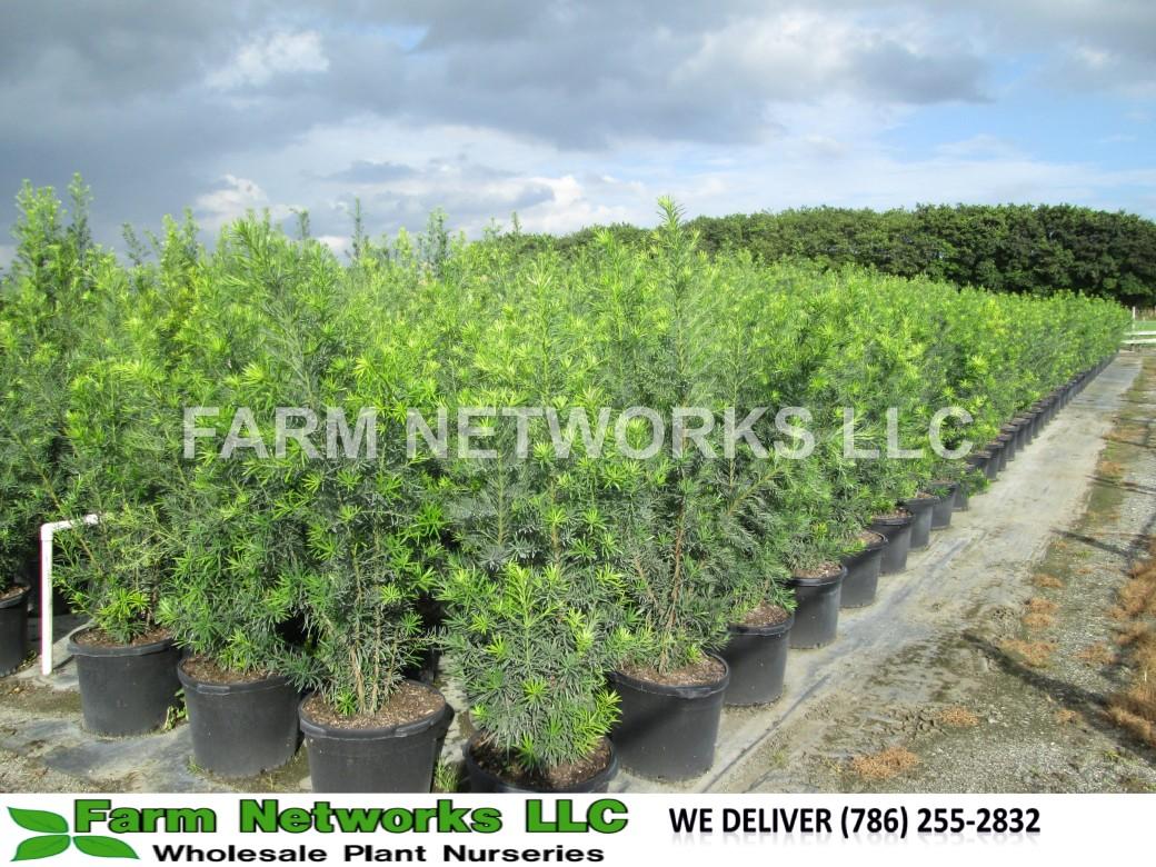 3-Gallon Podocarpus Hedge